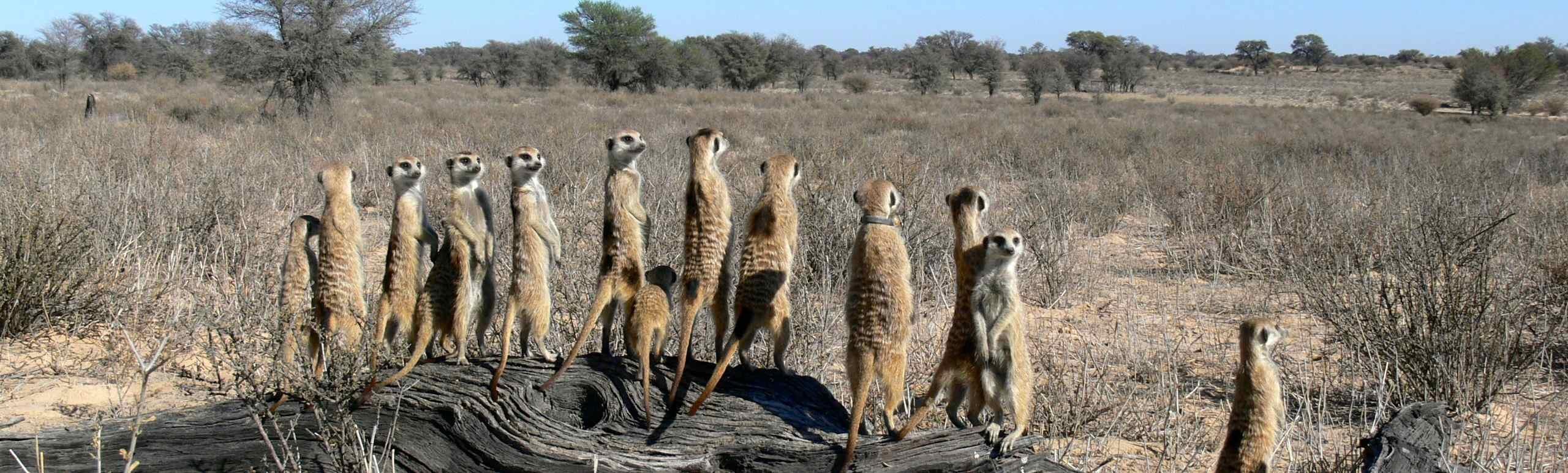 Meet the KMP meerkats!